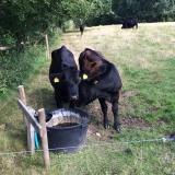 <p>Disse kalve er en del af Furesø kommunes afgræsningsprojekt for enden af Vaserne</p>
