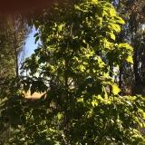 <p>Sjove træer med frugter, der lignede store bønner voksede langs Rio Valdeaduey</p>