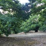 <p>Ægte kastanie træer</p>
