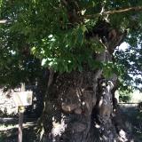 <p>Et 800 år gammelt kastanietræ</p>