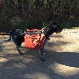 <p>Denne hund har vandret ib4 måneder med rygsæk, sammen med sine ejere fra Tyskland. Og den skal retur igen...</p>