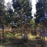 <p>Eucalyptus træer</p>