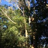 <p>Australske træer</p>
