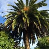 <p>Palmetræ udenfor Boavista </p>