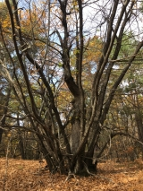 <p>																																		It was filled with groves of chestnut tree the eatable kind</p>